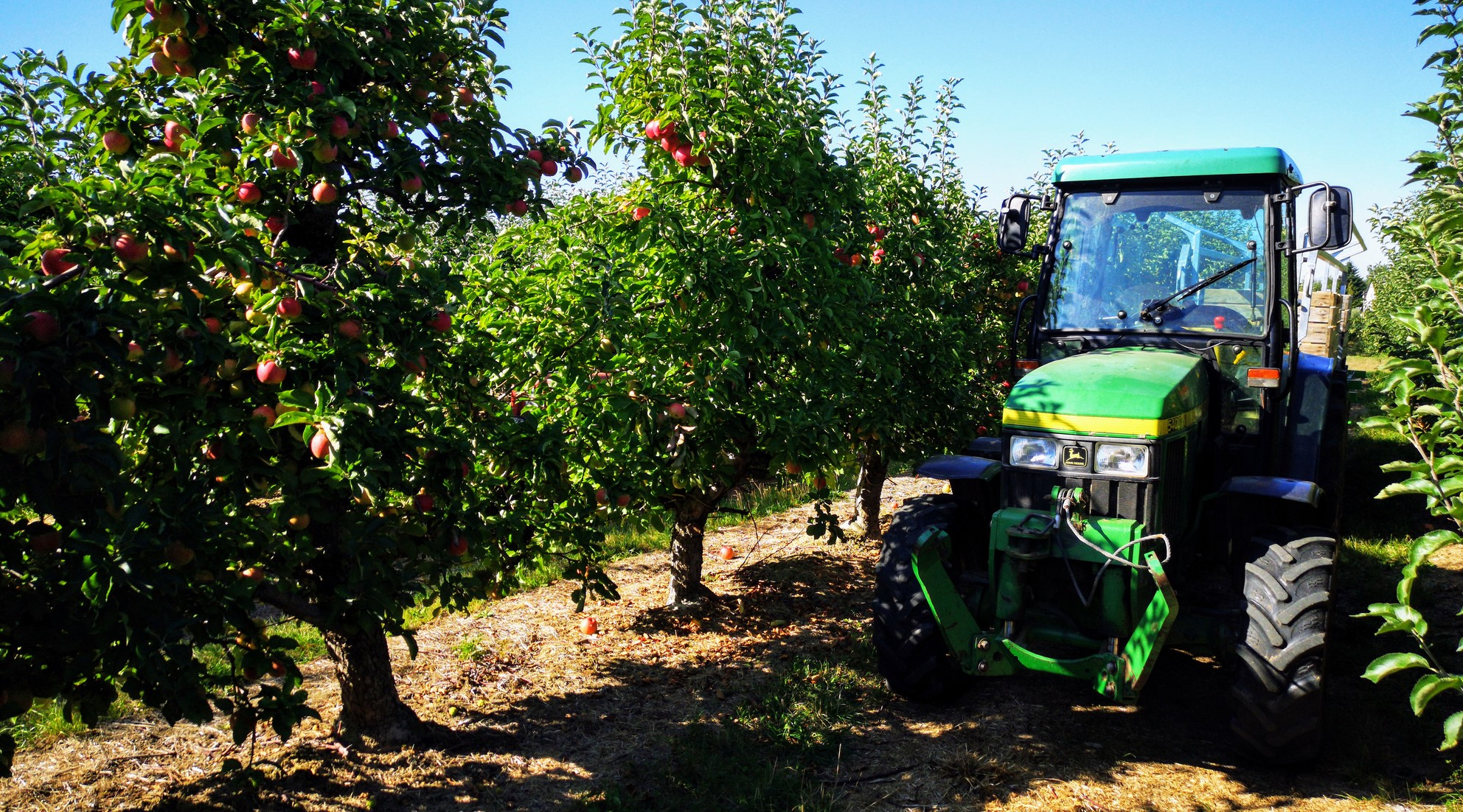 Tractor in an apple orchard