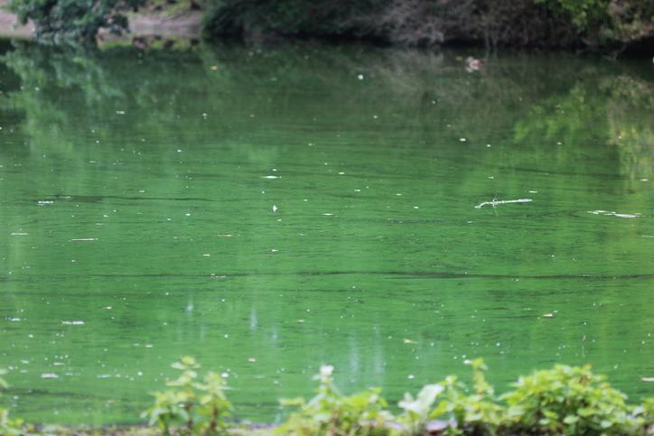 Blue green algae on a pond